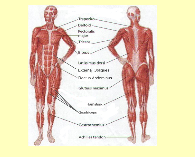 Muscular_1 human muscle pdf defenderauto info body diagram pdf at n-0.co